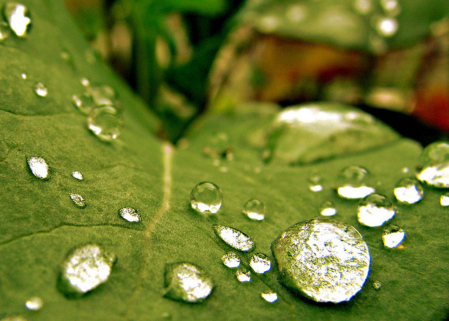 Water Beads on Leaf